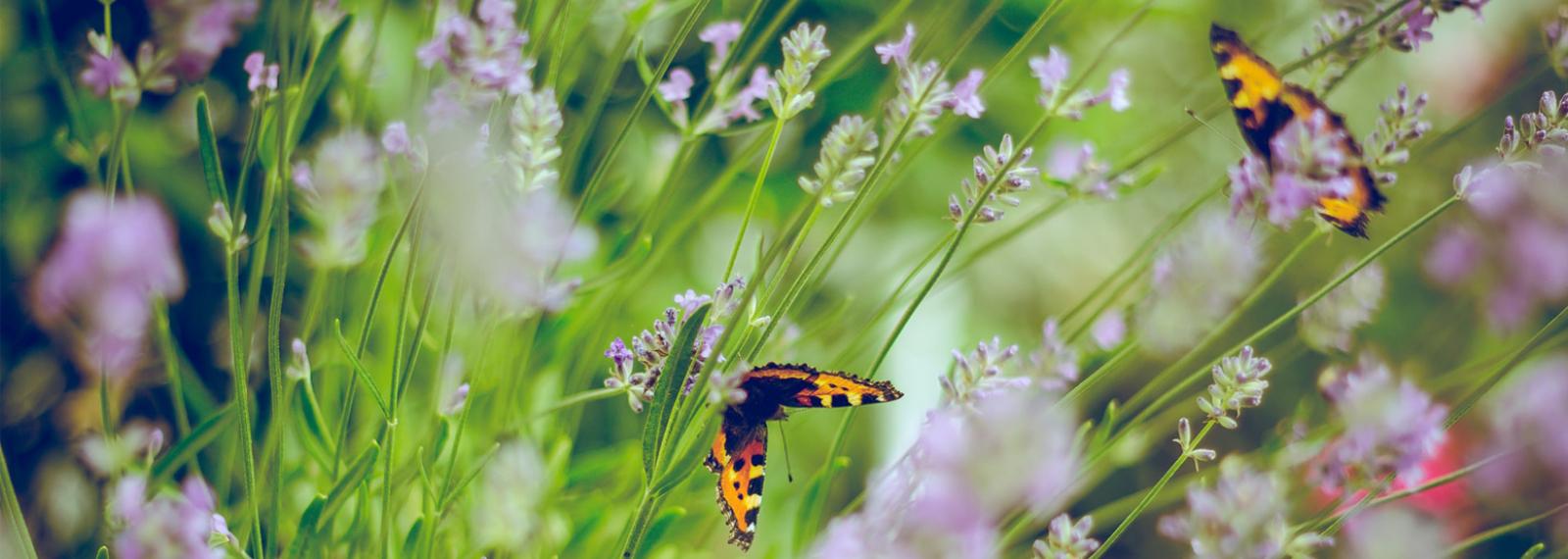 Le Carbet Amazonien, ferme aux papillons