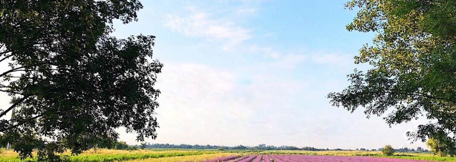 Un Mas en Provence, champs de lavande